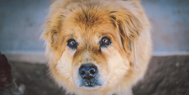 Kraljevski tretman za srednje i velike pse - kupanje, šišanje i feniranje već od 149 kn!